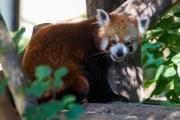Woche 45 - Roter Panda