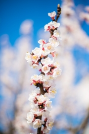 Woche-13-Marillenblüte