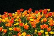 Woche-18-Tulpen