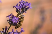 Woche-28-Gerettete-Biene