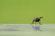 Woche-33-Fliege
