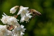 Woche-25-Biene