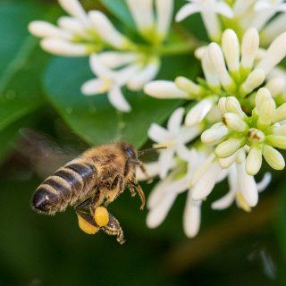 Der Flug der Honigbiene
